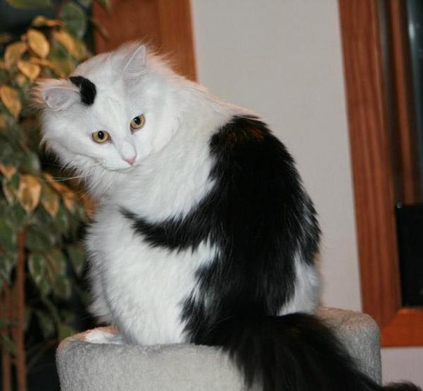 najbardziej-wyjatkowe-futra-kotow (20)