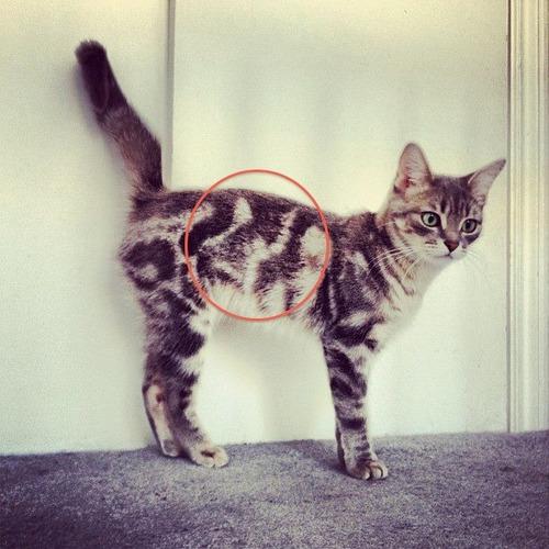 najbardziej-wyjatkowe-futra-kotow (22)