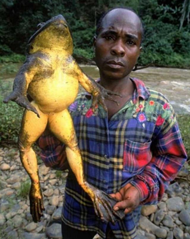 największa żaba na świecie