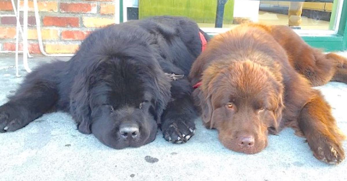Wyglądają jak 2 niczym nie wyróżniające się psy do momentu, kiedy nie wstaną. O matko, ale olbrzymy!