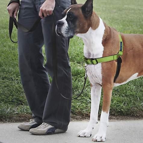 Jak nauczyć psa chodzić na smyczy