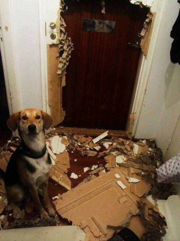 22 winne psy, które nieźle przeskrobały. Ich miny mówią same za siebie!