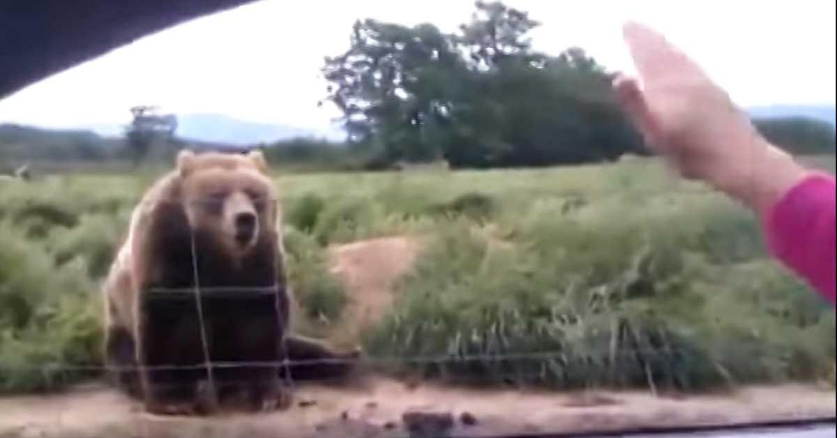 Pomachała do 150-kg niedźwiedzia. Takiej odpowiedzi zwierzaka na pewno się nie spodziewała!