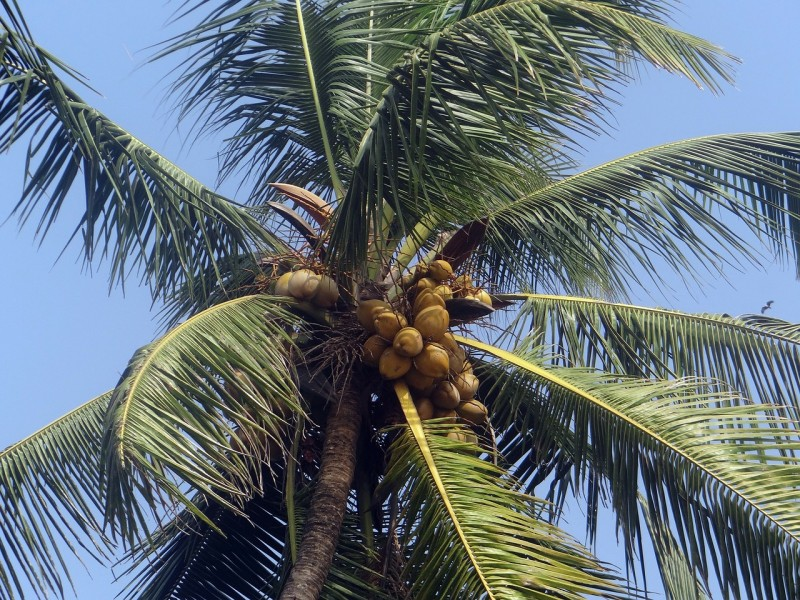 olej kokosowy rak jelita grubego (3)