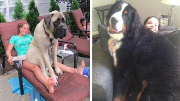 Te ogromne psy nie zdają sobie sprawy ze swoich rozmiarów. Uważają się za małe szczeniaki