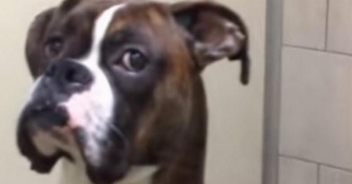 Rodzina pojechała na wakacje, ale bez psa. Reakcja boksera na ich ponowny widok była bezbłędna