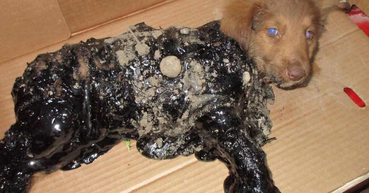 Przerażające odkrycie w Rumunii. Bezbronne szczenięta celowo wrzucone do smoły