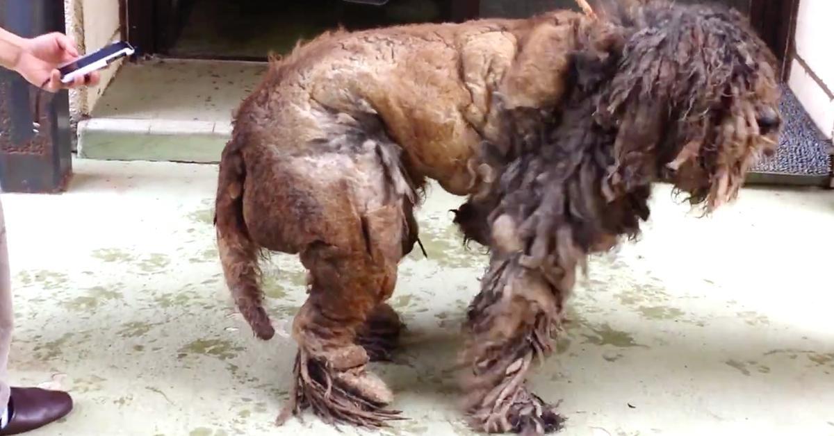 Porzucony pies był tak zaniedbany, że z jego sierści powstały dredy. Zobacz, jak dziś wygląda!