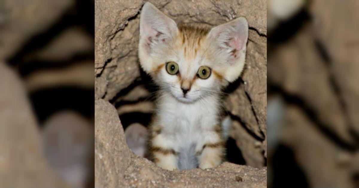 Dziwny i rzadki gatunek kota udało się zobaczyć i sfotografować pierwszy raz od 10 lat