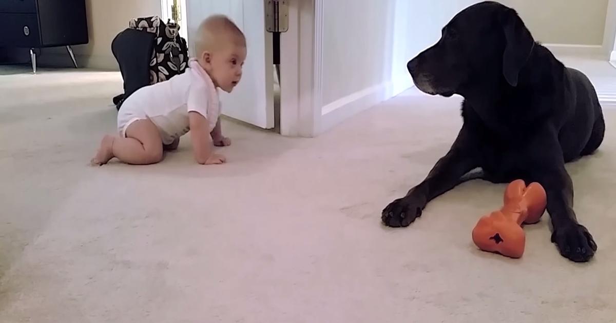 Dziecko powoli raczkuje i zbliża się do psa. W pewnym momencie pies robi coś, co zaskakuje malucha