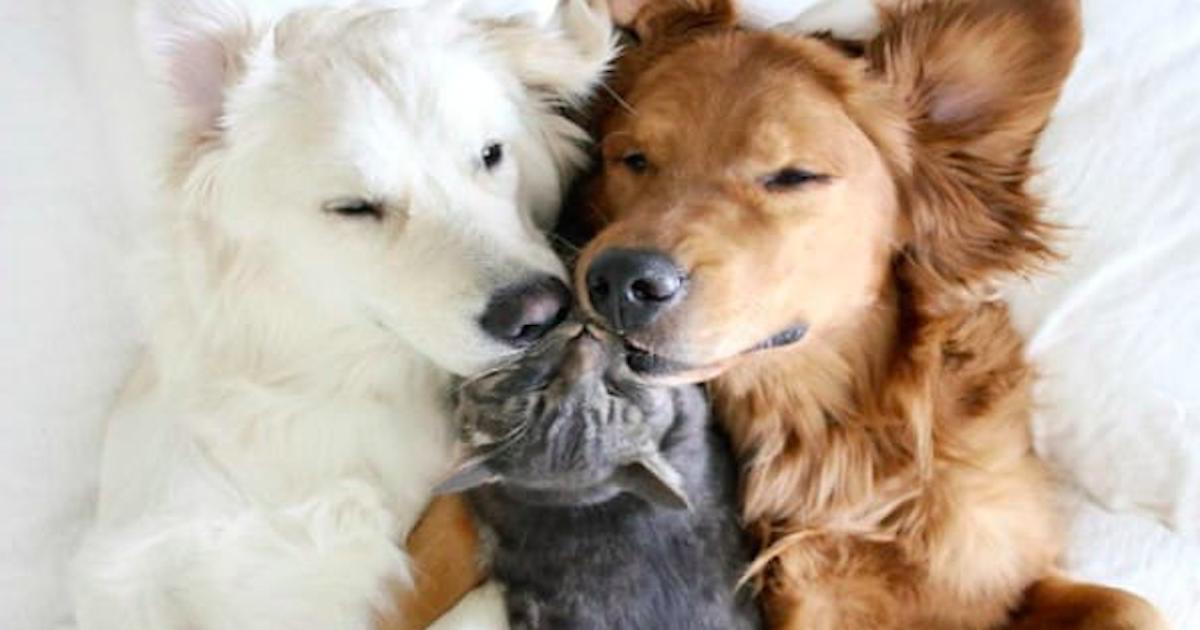 2 duże psy i kot stały się najlepszymi przyjaciółmi. Uwielbiają wspólne drzemki!