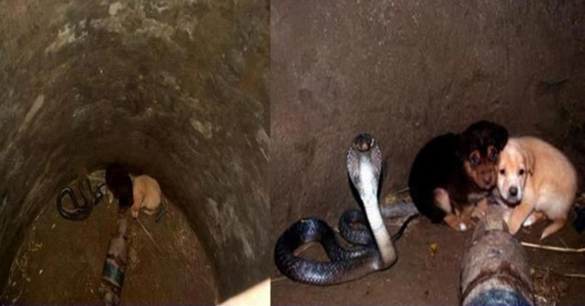 Dwa szczeniaki wpadły do głębokiej studni. W środku znajdowała się jadowita kobra