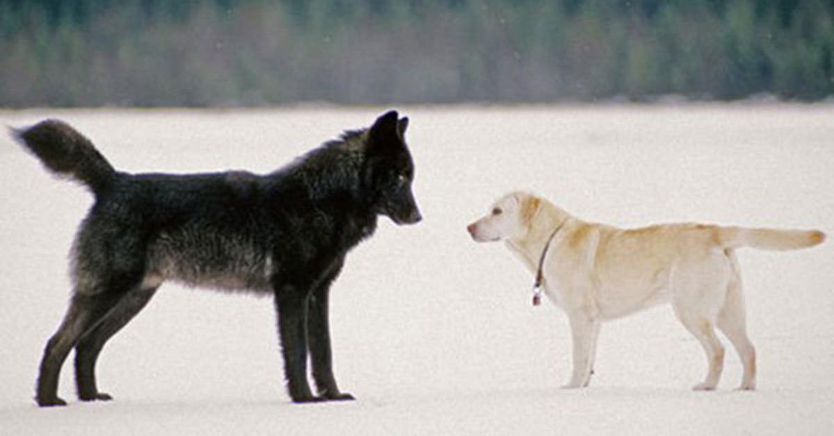 W czasie spaceru do jego psa podszedł wilk. Dziki zwierzak był naprawdę ogromny
