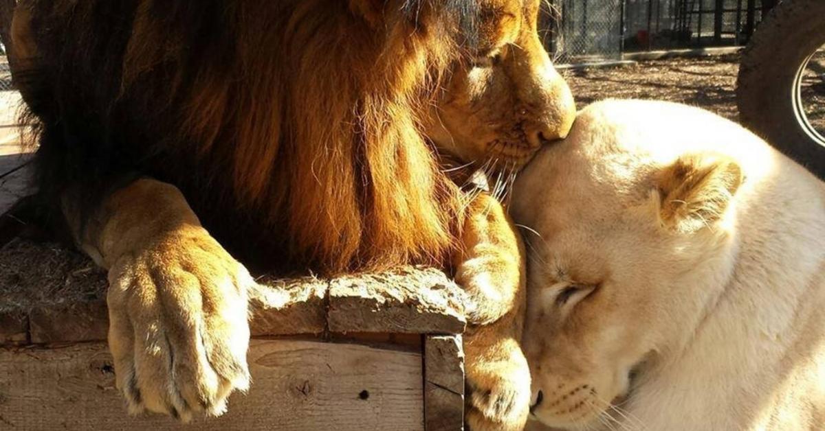 Lew nie opuścił swojej partnerki, która była bliska śmierci. Jego miłość trzymała ją przy życiu
