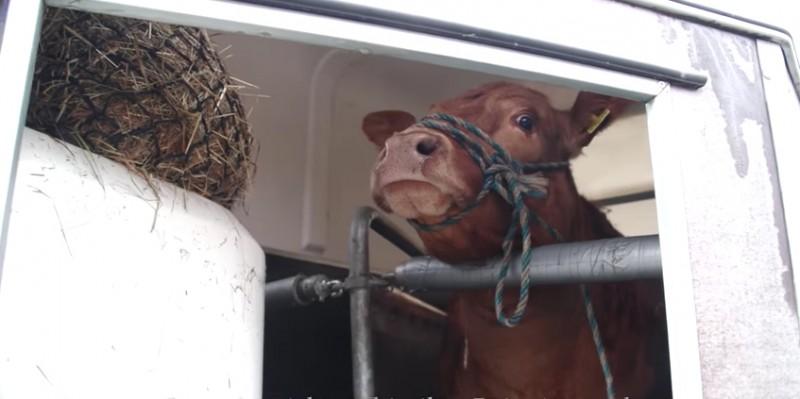 lzy-krowy-1