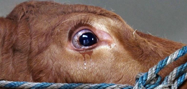 lzy-krowy-2