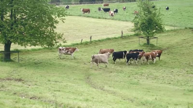 lzy-krowy-5