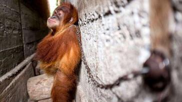 Przykuty łańcuchem do ściany orangutan tulił sam siebie, aby zasnąć