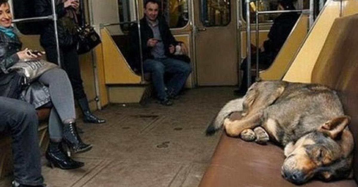 W Moskwie można spotkać grupy bezdomnych psów w metrze. Robią to każdego dnia w ważnym celu