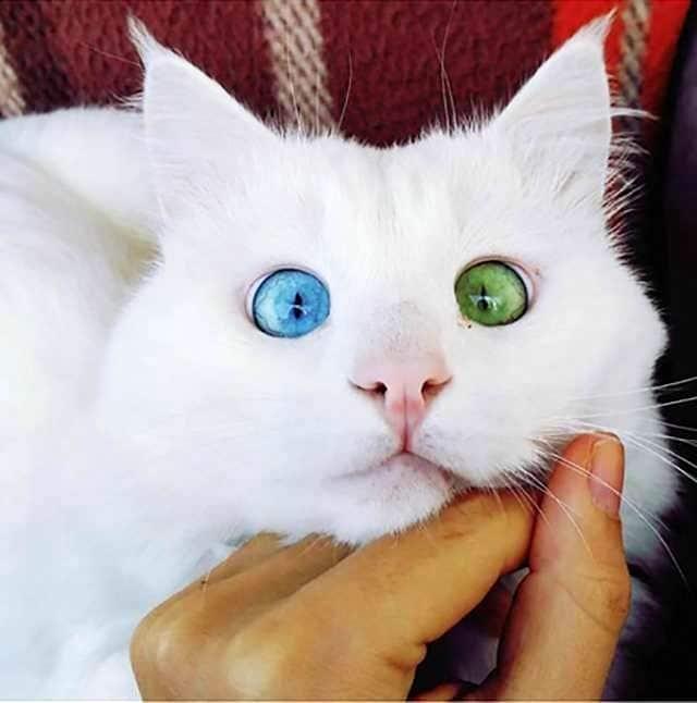 heterochromia-9