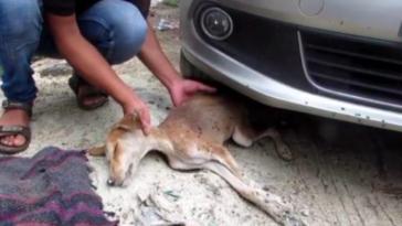 Półżywy szczeniak położył się pod samochodem. Jego ciało było dosłownie zjadane przez muchy