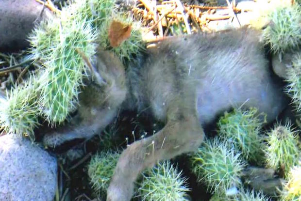 Ciało tego maleństwa było pokryte kaktusami. Kolce wbiły się głęboko w jego skórę
