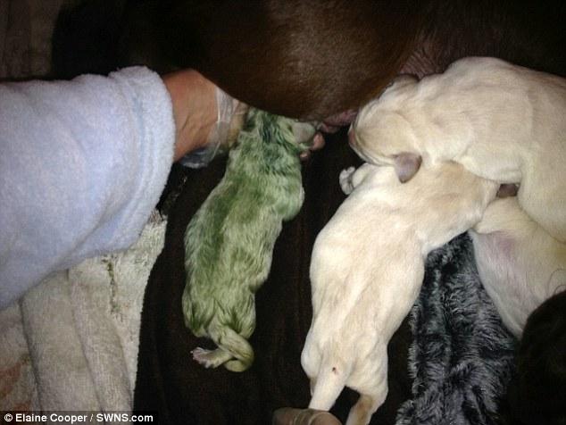 Labrador wydał na świat 5 szczeniaków. Nie byłoby w tym nic dziwnego, gdyby jeden nie był… zielony!