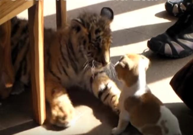 Ich relacja zaprzecza regułom. Ogromny tygrys i malutkie psy są najlepszymi przyjaciółmi