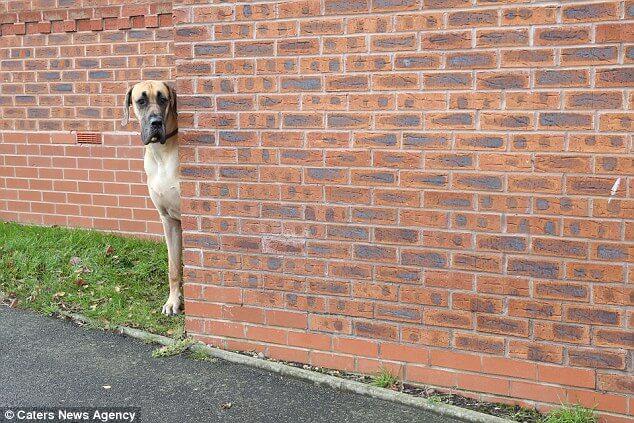 Prawdziwy Scooby-Doo żyje i ten pies jest tego dowodem. Największy, a zarazem najstrachliwszy!