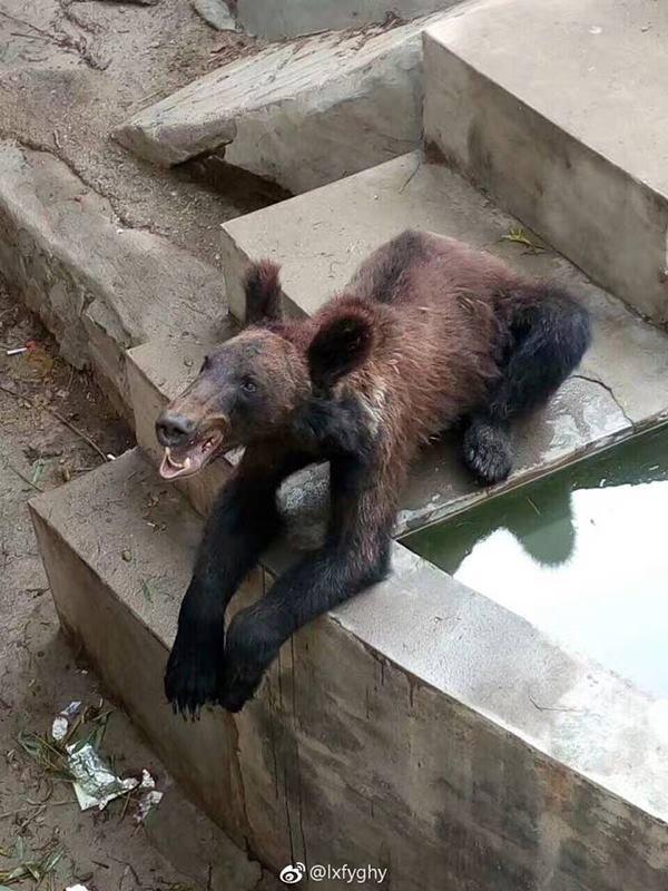 Widok niedźwiedzia z zoo przyprawia o łzy rozpaczy. Ciężko na to patrzeć