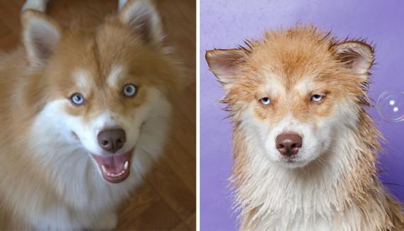 25 zabawnych zdjęć psów przed i w trakcie kąpieli. Niektórym to dopiero zrzedły miny!