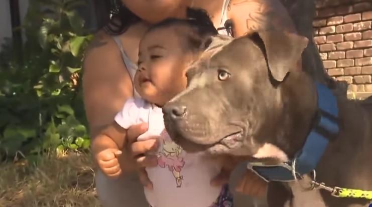 Pit bull chwycił dziecko za pieluszkę i zaczął ciągnąć. Po chwili przerażona mama oddycha z ulgą
