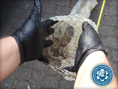 Znaleziono skórę 5-metrowego węża nad Wisłą. Trwają poszukiwania ogromnego pytona