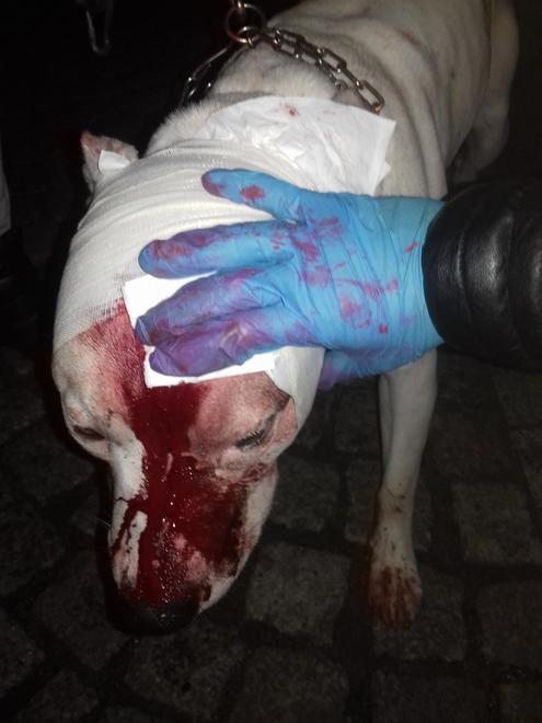 Amstaff rzucił się na 8-latkę, chwycił za rękę i ciągnął po chodniku. Ojciec ranił psa nożem