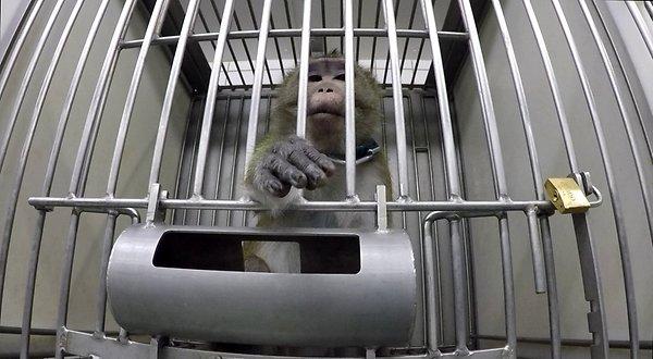 małpa w klatce