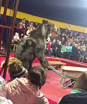 atak niedźwiedzia w cyrku