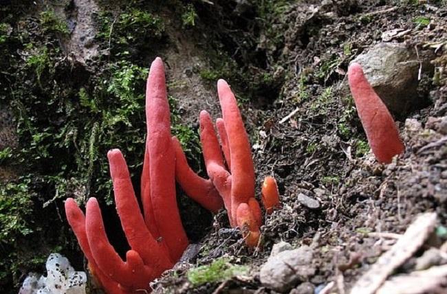 Trujący koral ognisty