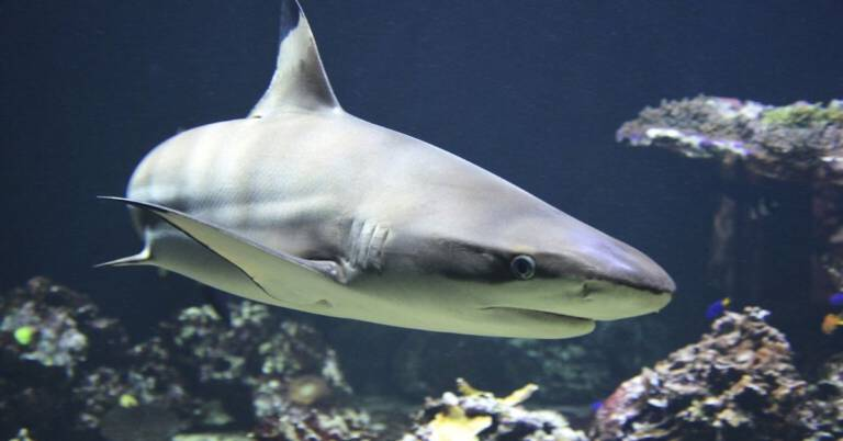 Chodzący gatunek rekinów odkryty w Indonezji