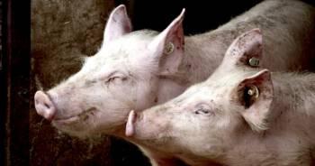 Świnie zjadły rolnika