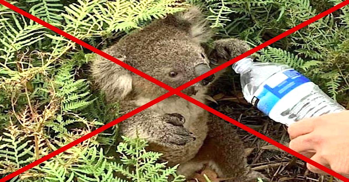 nie podawajcie koalom wody