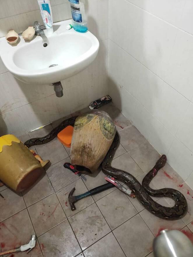 Pyton zaatakował kobietę w toalecie