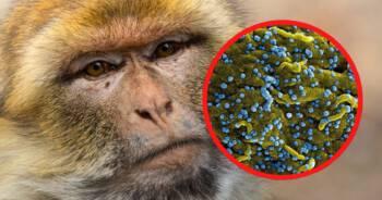 Małpy zostały zarażone koronawirusem