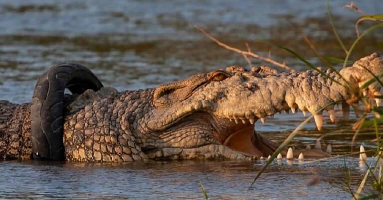 Nagroda za zdjęcie opony z krokodyla