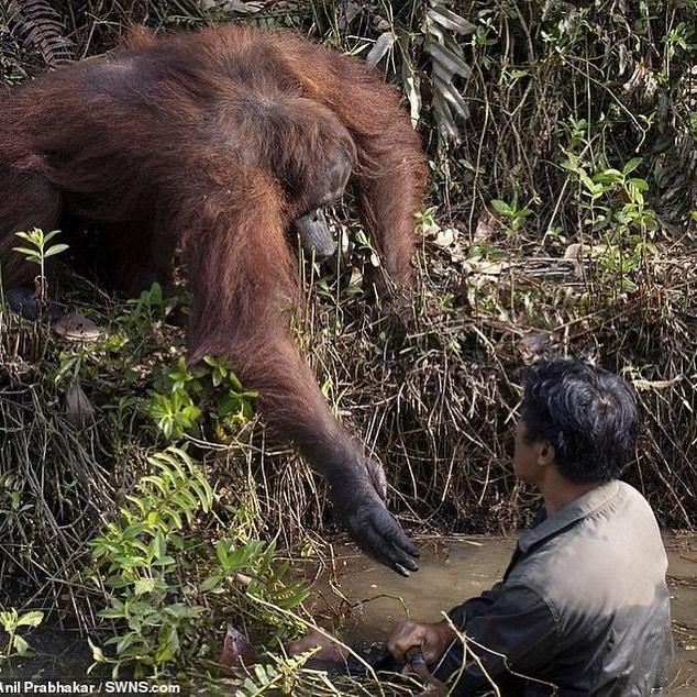 Orangutan chciał ratować człowieka