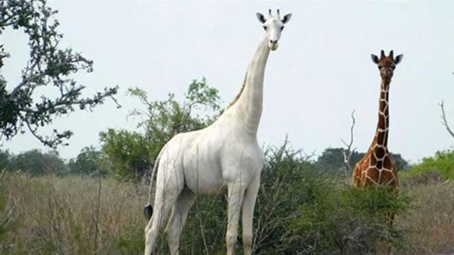 zabito ostatnie białe żyrafy 2