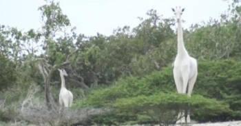 zabito ostatnie białe żyrafy