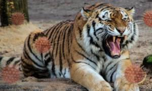 Koronawirus w nowojorskim zoo. Tygrysica z pozytywnym wynikiem testu!