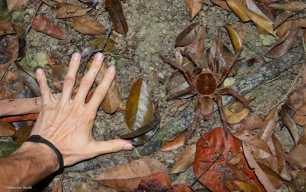 Największy pająk na świecie