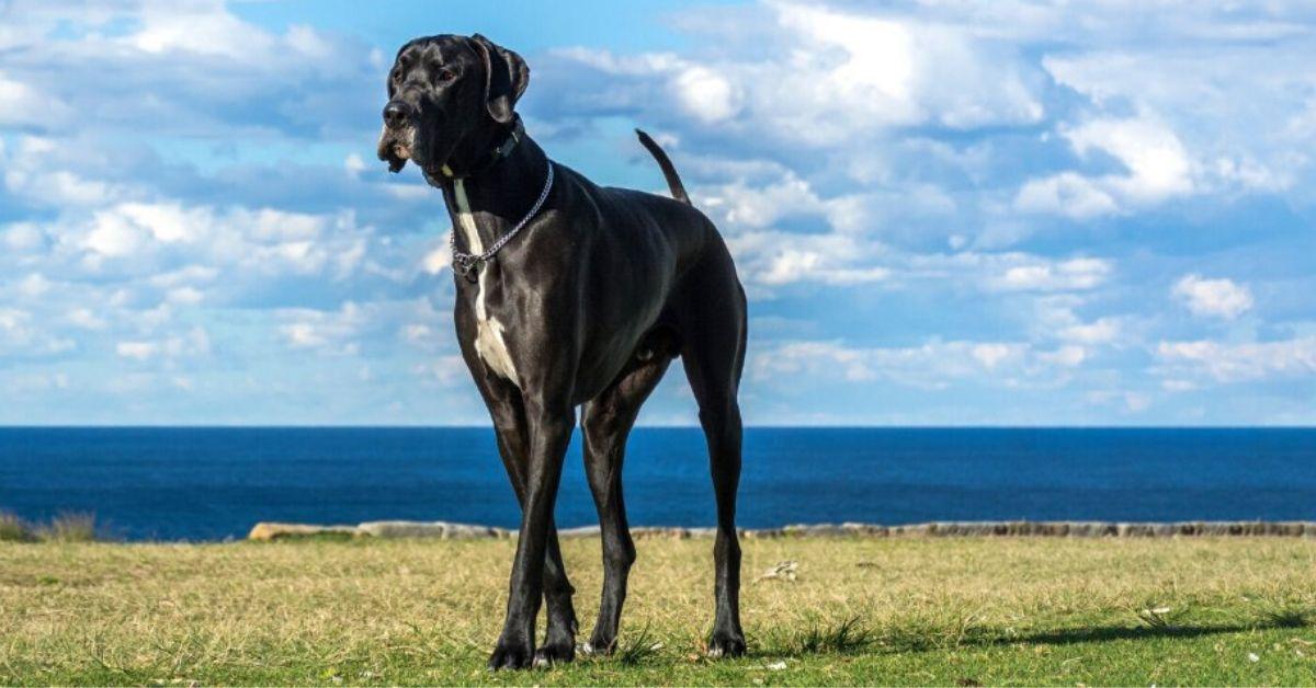 Największy pies