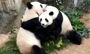 Pandemia zapewniła sporo prywatności pandom. Po 10 latach zaczęły spółkować!